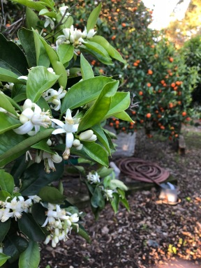 The scent of orange blossoms was everywhere, and some trees were already laden with mandarins.