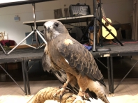 Sawinson's Hawk