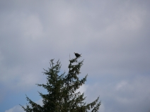 We saw so many Bald Eagles - mature and juvenile