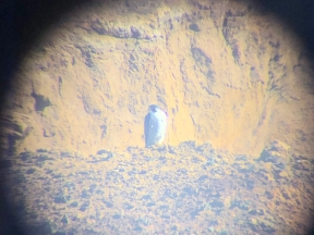 Peregrine Falcon - I couldn't stop looking through my binoculars at him